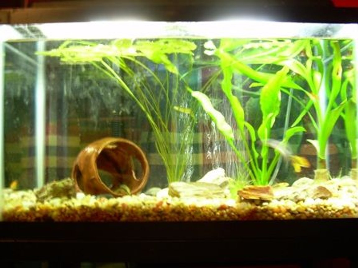 10 gallons planted tank (mostly live plants and fish) - A picture of my planted 10 gallon aquarium.