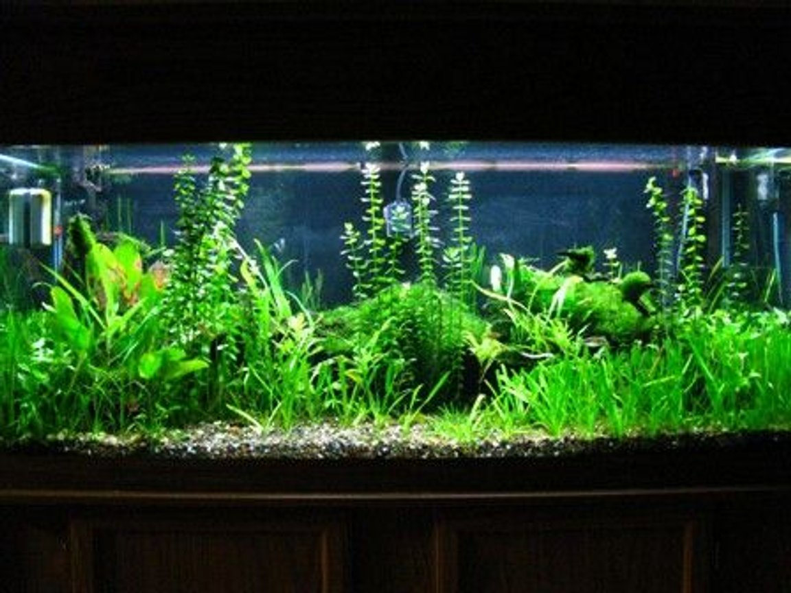 75 gallons planted tank (mostly live plants and fish) - 75gal.plant tank