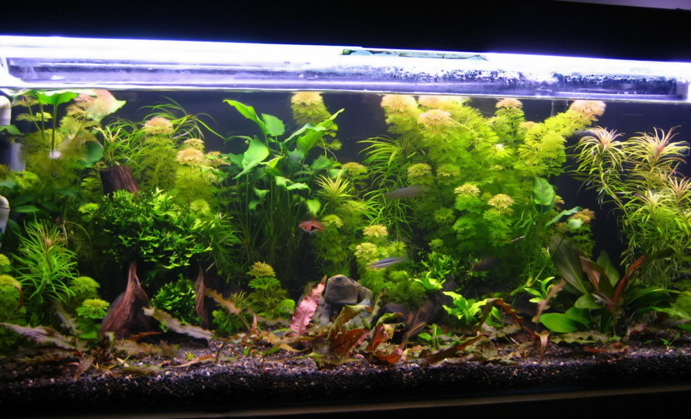 50 gallons planted tank (mostly live plants and fish) - New set-up. 8 weeks old.