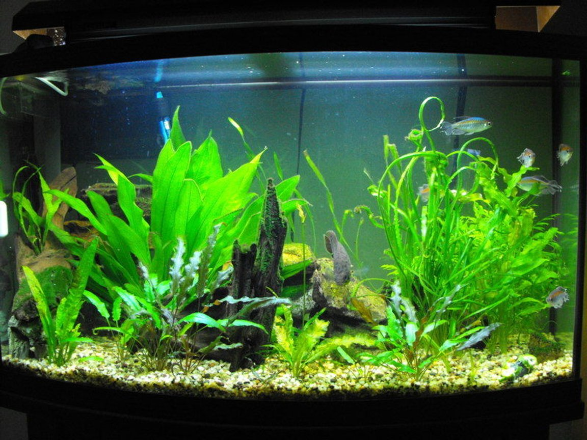 55 gallons planted tank (mostly live plants and fish) - 55 gallon african tank