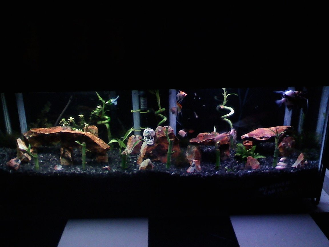 55 gallons planted tank (mostly live plants and fish) - Angle Tank 40 Gallon Long 6 Angels 5 Albino Cory Cars 1 Serpae Tetra 3 White Skirt Tetras 1 Plecostomus 1 Flounder 1 Black Swordtail Black Gravel Flint Rocks Bamboo Java Moss Java Swoard