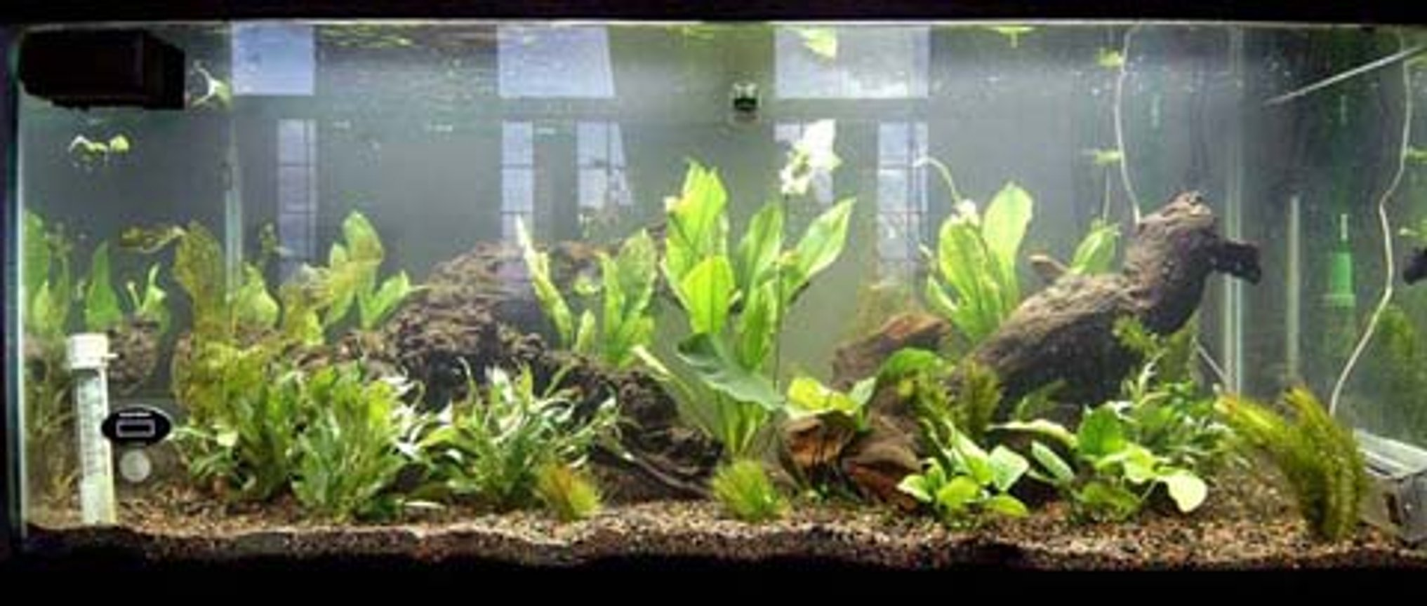 75 gallons planted tank (mostly live plants and fish) - 75 Galllon Planted 5 Dwarf Hairgrass. 2 Anubias nana 1 Anubias bateri-Large 4 Amazon Sword-Large, Potted 4 Temple Narrow Leaf 4 Anacharis 1 Ruffle Plant-Medium 2 Madagascar Lace 1 Marble Queen Radican
