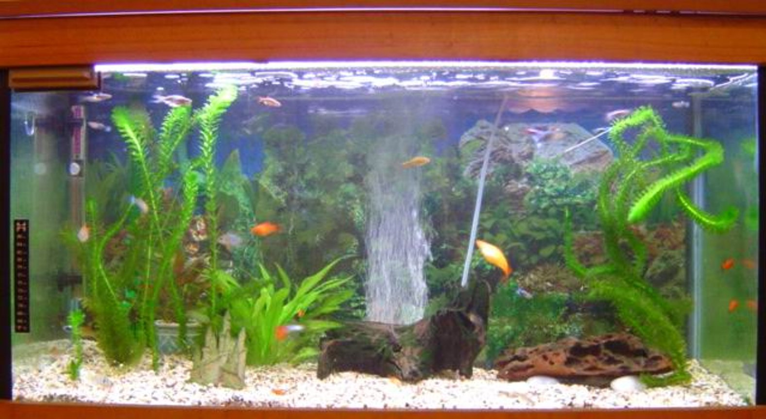 52 gallons planted tank (mostly live plants and fish) - My community tank..