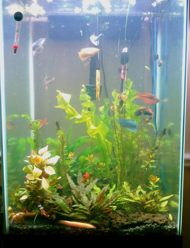 60 gallons planted tank (mostly live plants and fish) - 40 gal tall fully planted tank 2 many plants to name mainly crypts, banana lilies, rolatas, etc... 5 pound compressed co2 use full fluorish line up from excel to nitrogen.. fish: 3 gouramis ( 2 oplaline 1 homey/ gold) 3 raindow sharks, 6 octocats, 6 neon tetras, 6 glass cats, 2 platies, 4 dojo loaches around 7inches each. ( 2 gold 2 regular brown) 1 dwarf pleco. and some amano shrimp.