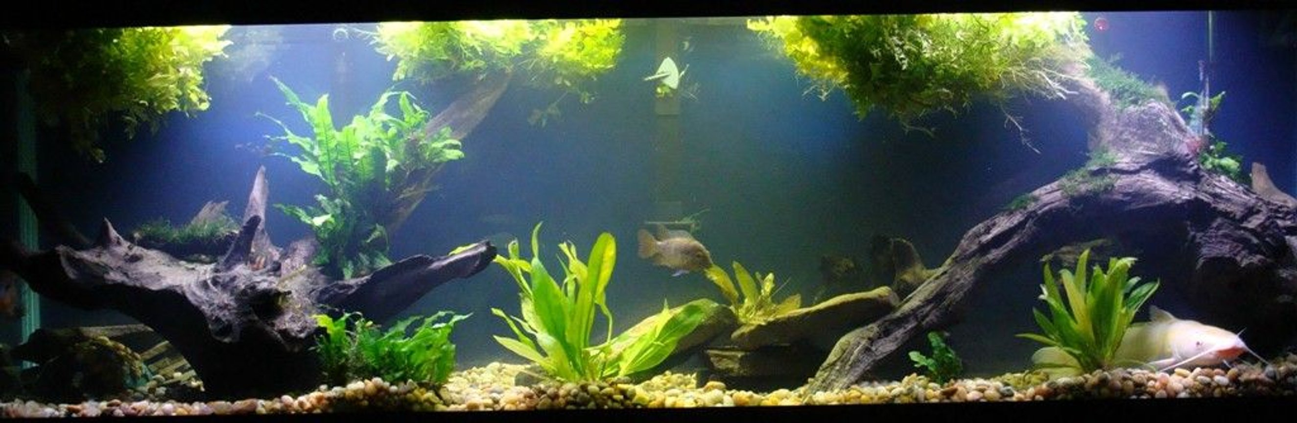 125 gallons planted tank (mostly live plants and fish) - 125g cichlid tank