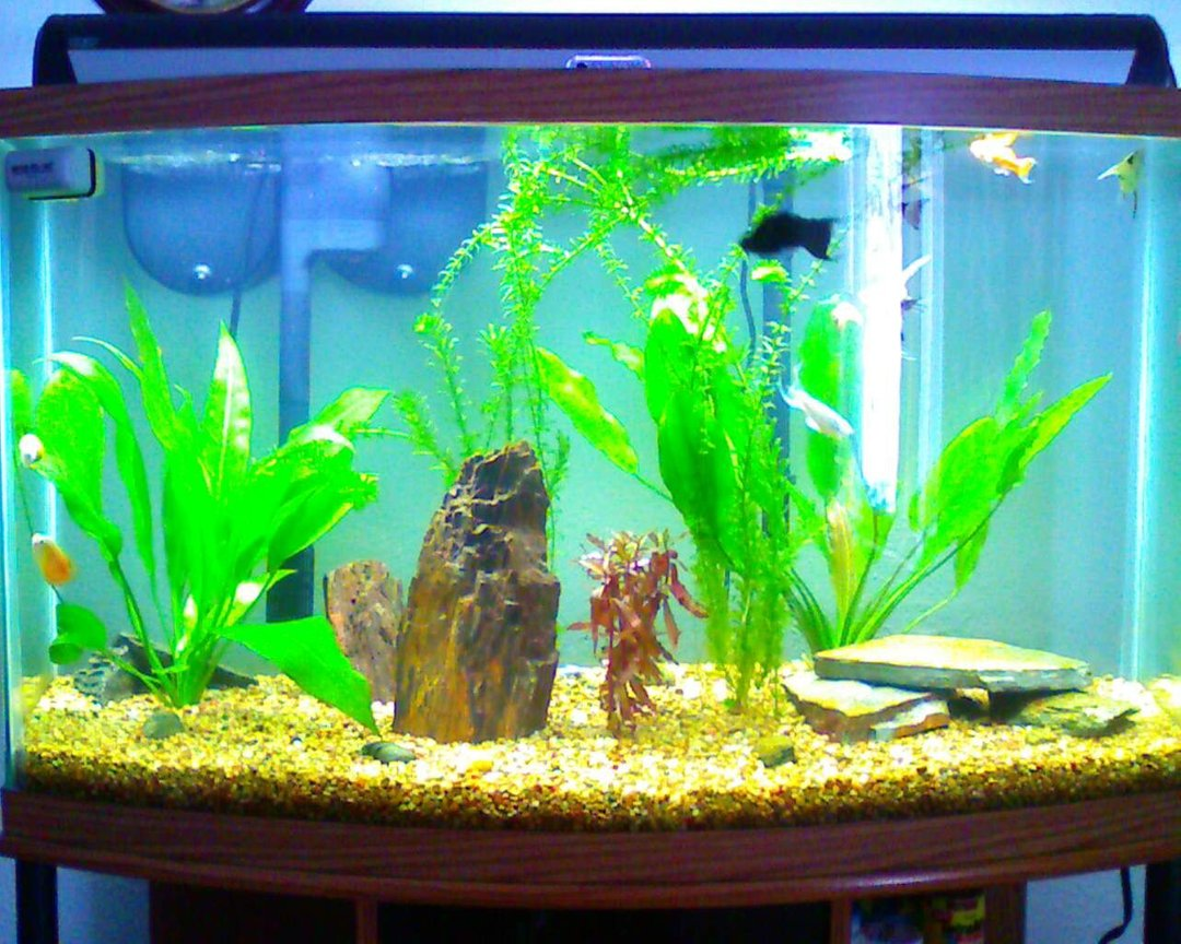 46 gallons planted tank (mostly live plants and fish) - Front view of my 46 gallon bow front tank