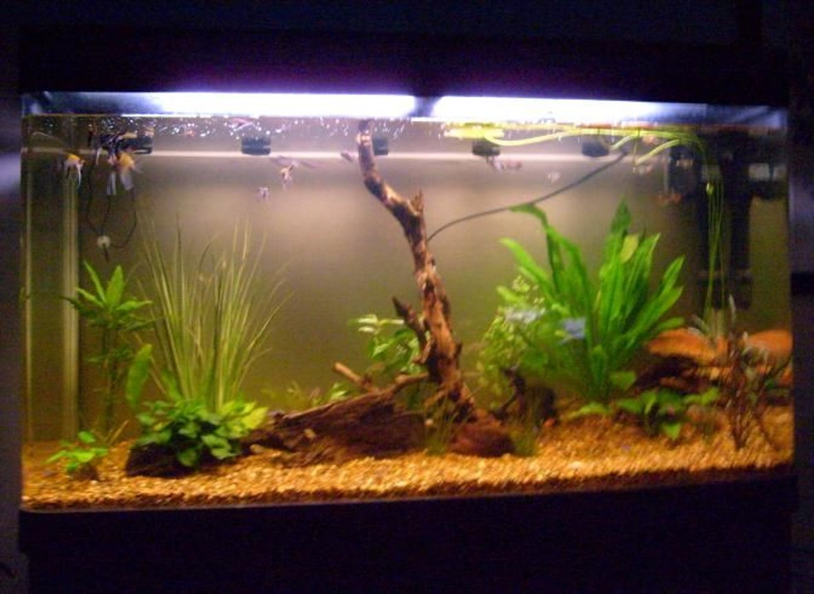 79 gallons planted tank (mostly live plants and fish) - My 79 Gallon South American/Amazon Tank.