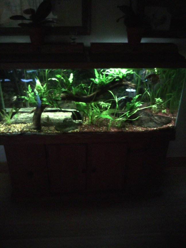 55 gallons planted tank (mostly live plants and fish) - 55 planted community tank