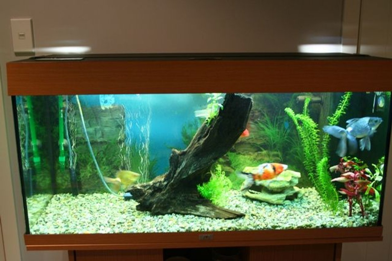 50 gallons planted tank (mostly live plants and fish) - this is my new tank quite a step up from the old one. iam selling the goldies and moving onto a tropical set up soon i have got some of the plants in. and iam taking out the hornwort