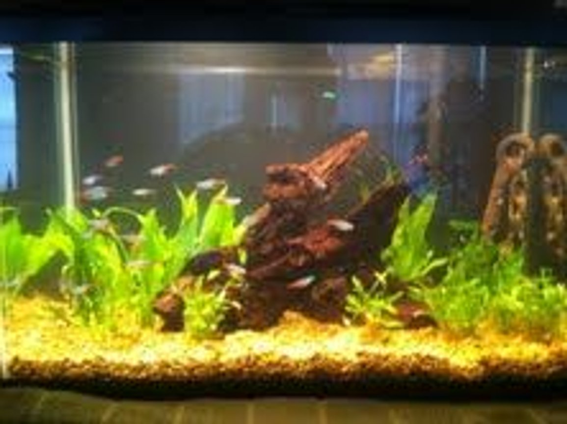 10 gallons planted tank (mostly live plants and fish) - Amazon Theme tank, Cardinals, Neons, Cory cats