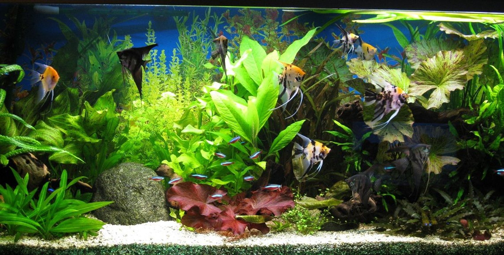 86 gallons planted tank (mostly live plants and fish) - My tank with lots of plants 3 months after a new start.