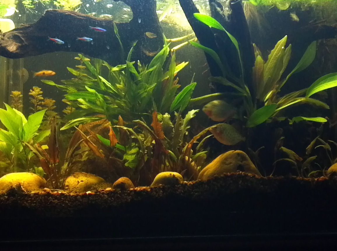 30 gallons planted tank (mostly live plants and fish) - my 30 gallon planted piranha tank