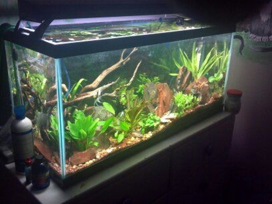 35 gallons planted tank (mostly live plants and fish) - my planted angelfish tank