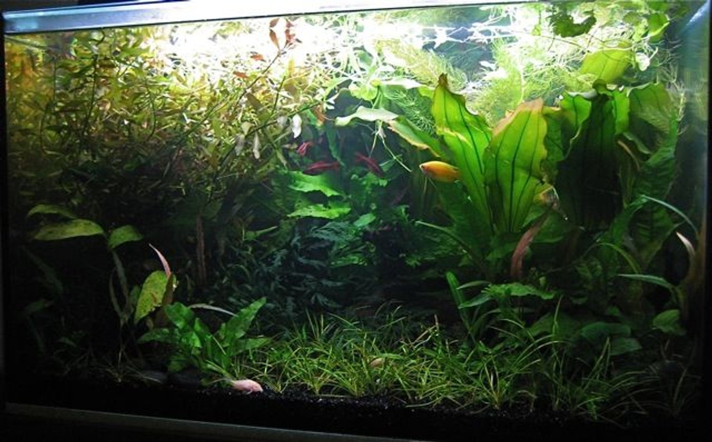 15 gallons planted tank (mostly live plants and fish) - A dense garden forest garden, with brushes of fish colour.
