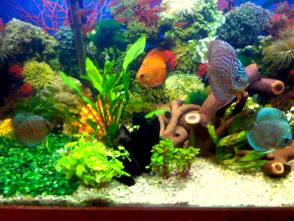 55 gallons planted tank (mostly live plants and fish) - Planted with discus