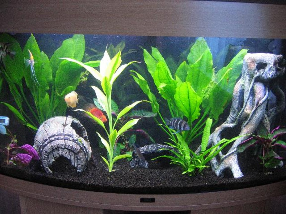 40 gallons planted tank (mostly live plants and fish) - Juwel Vision 180 : Blood Parrot, Frontosa, Gold Severum, Angelfish, Clown Loaches, False Zebra Pleco