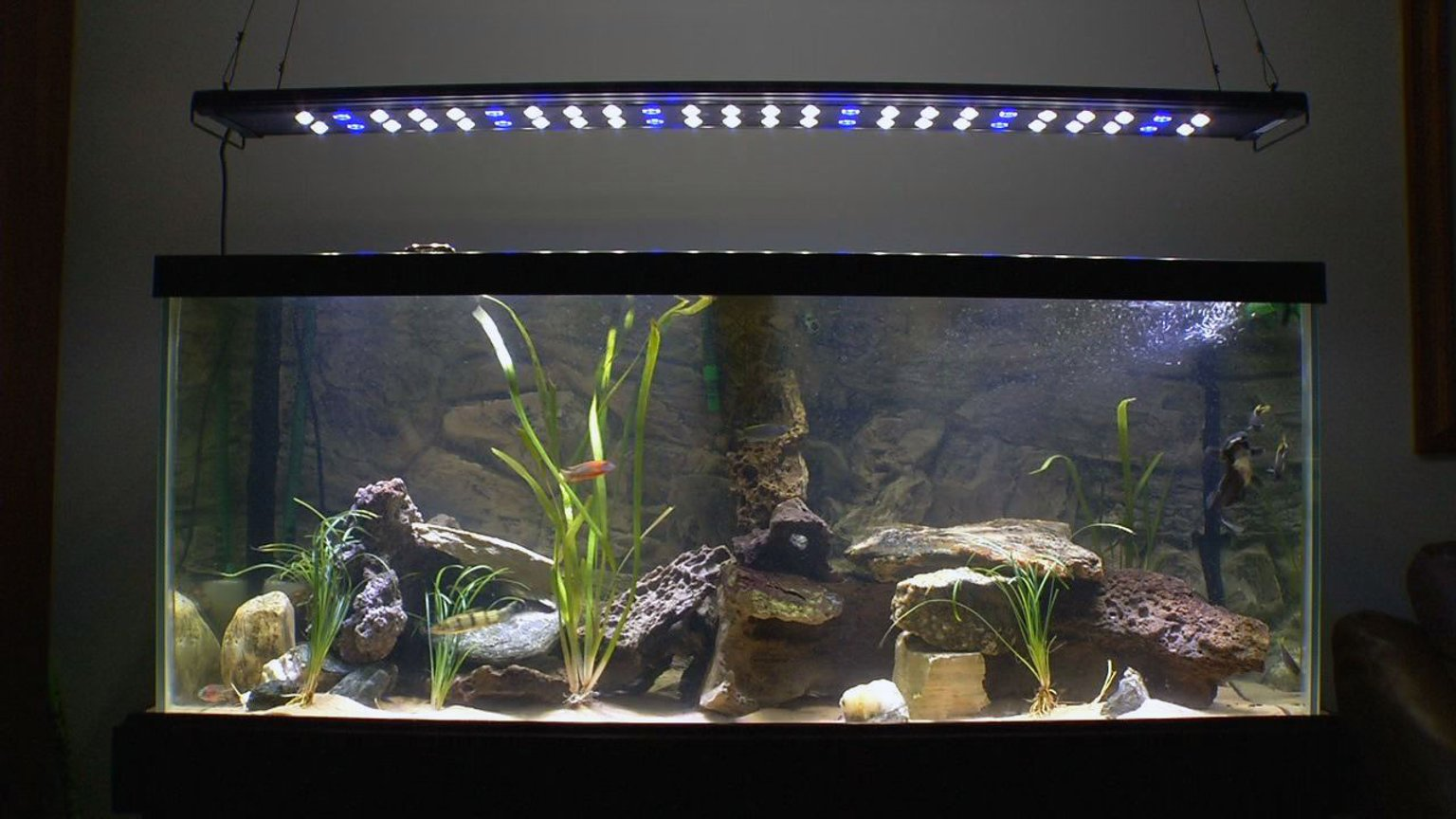 75 gallons planted tank (mostly live plants and fish) - Lake Malawi Cichlids with a couple other friends in a lightly planted rock-scaped 75 gallon Aquarium.