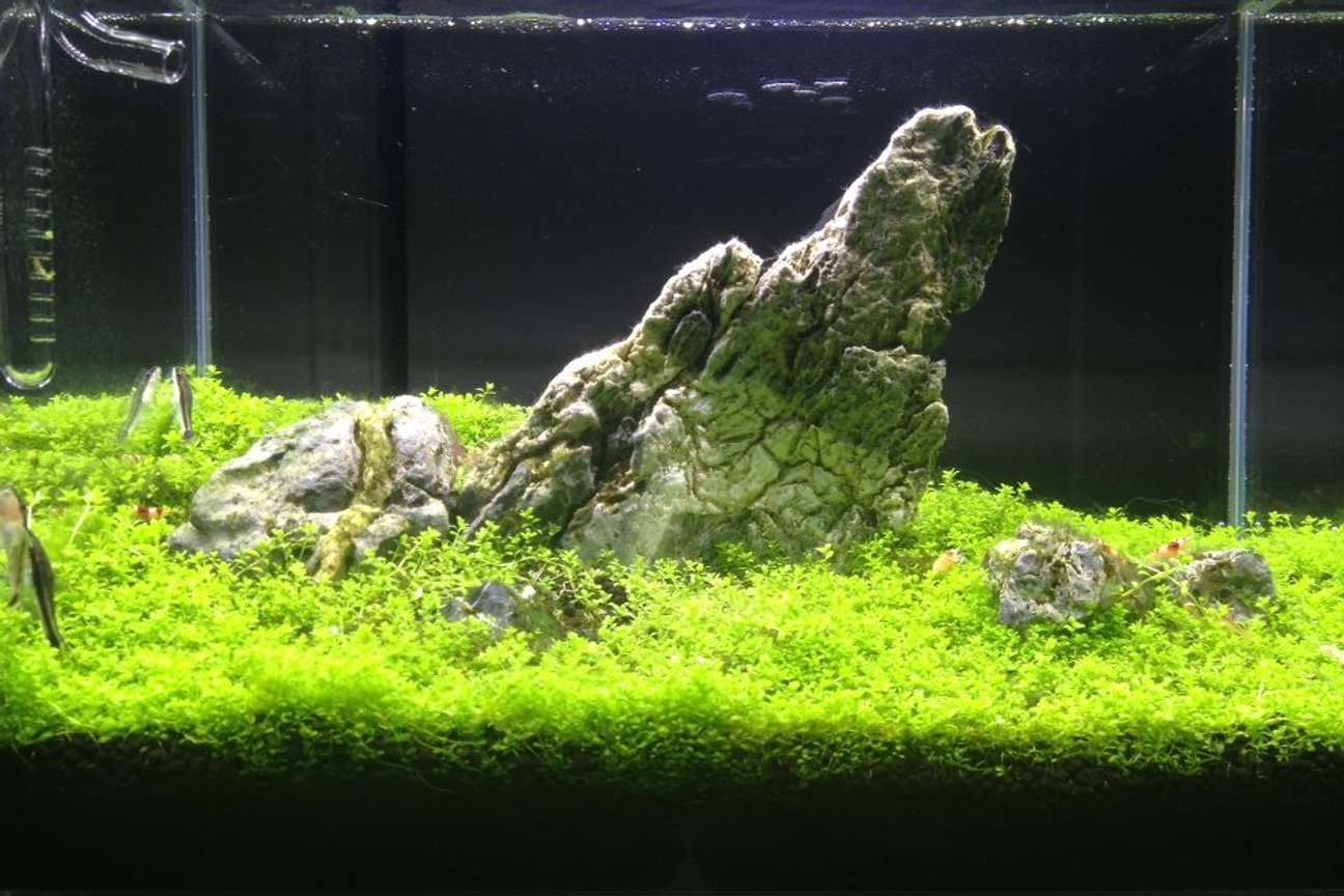 6 gallons planted tank (mostly live plants and fish) - Iwagumi style tank! With 15 crystal red shrimps and 3 otocinclus fish