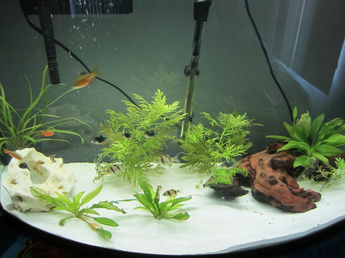 36 gallons planted tank (mostly live plants and fish) - 36 gal planted with driftwood and rock. Contains 4 each of tiger barbs, green tiger barbs, and rosy barbs. 2 rubber lipped plecos