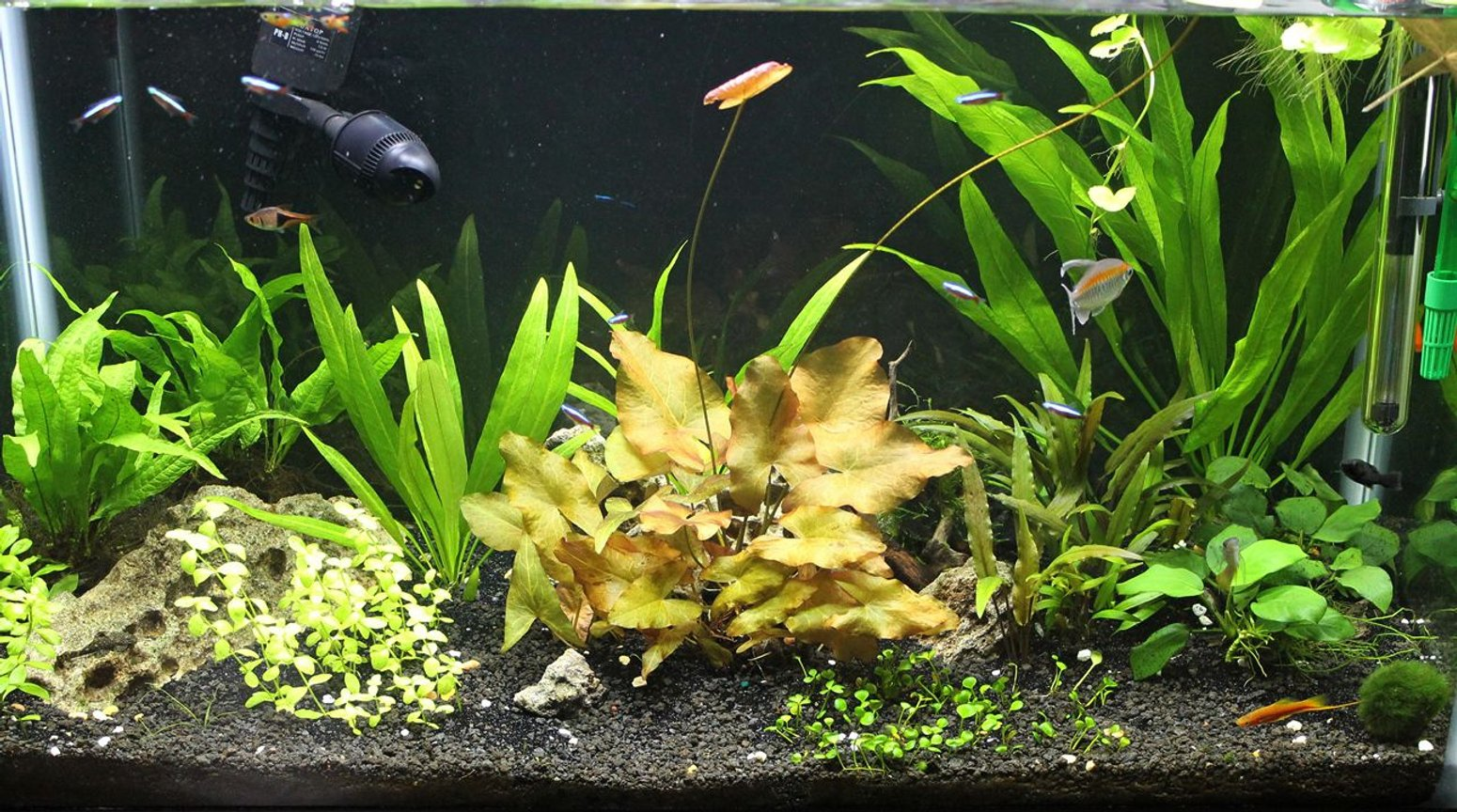 29 gallons planted tank (mostly live plants and fish) - 29 gallon - non CO2 - amazon sword - micro sword - lilies - anubias - crypts - java fern - australis bacopa - moss - cardinal tetras - congo tetra - dwarf pleco - otto - assassin snails - lyretails - swords -