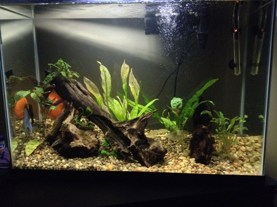40 gallons planted tank (mostly live plants and fish) - Taken today. Scared the fish a little, so they went to hiding. And will also be replacing plants that my plecos sucked the life out of