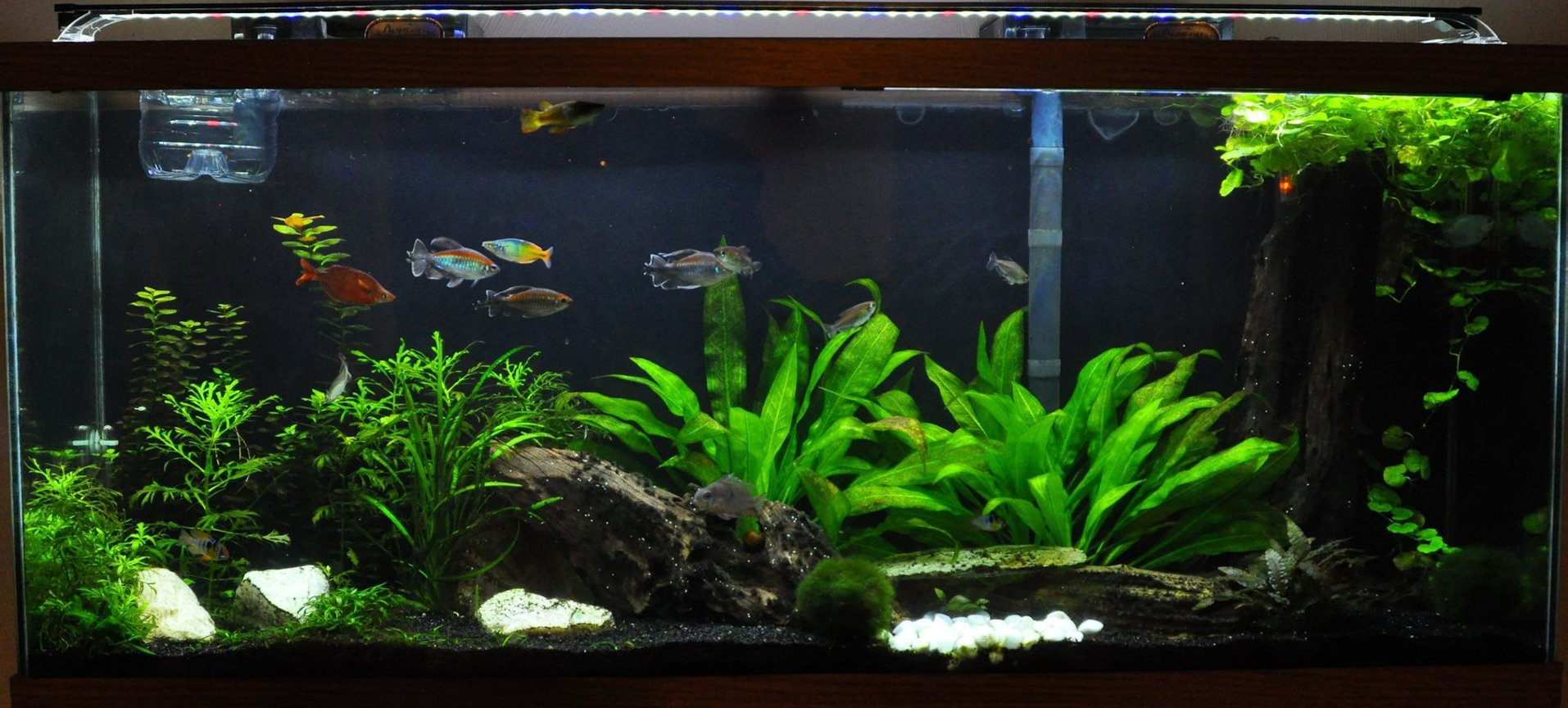 55 gallons planted tank (mostly live plants and fish) - My Work In Progress