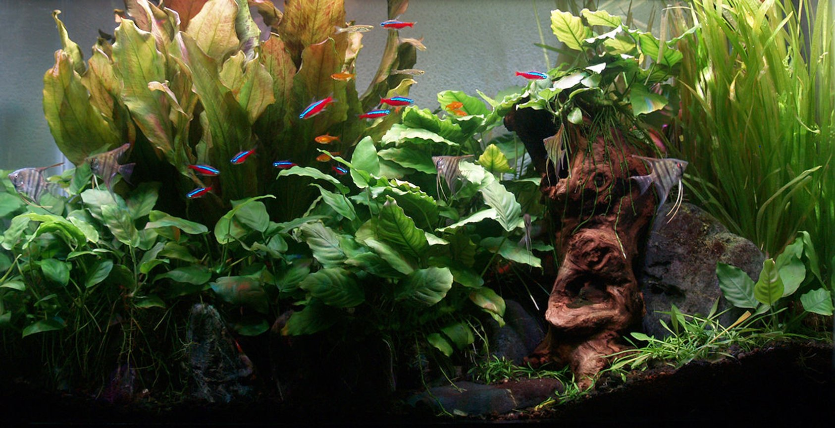 29 gallons planted tank (mostly live plants and fish) - Tank up 3 years since November 2012. 10 Cardinals & 7 Ember Tetras are original residents. 5 Angels new & will be transferred to new larger tank being setup. Goldring Danios introduced Dec 14 and Celestial Pearl Danios introduced Jan 2015. Plants are all from original setup, except some of the Crypto Parva. Anubias all propagated from 2 original plants. I harvest and supply all my friends with Anubias and Jungle Vals quite frequently and have harvested 4 plants from the one echinodorus.