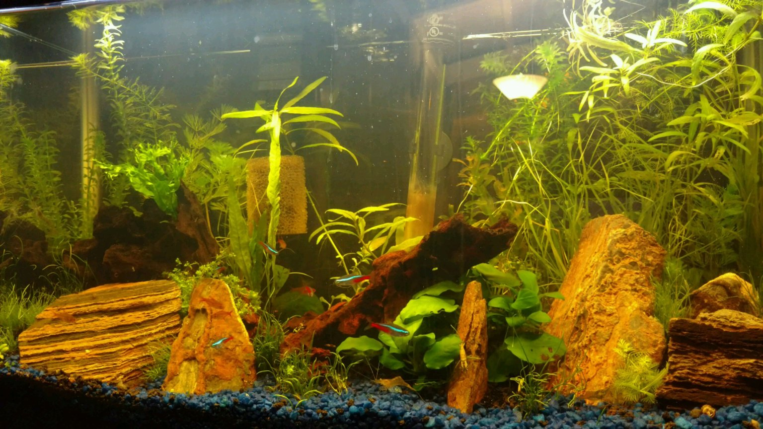 13 gallons planted tank (mostly live plants and fish) - 13G long Aquarium with Neon Tetras, Ember Tetras, Ghost and Red Cherry Shrimps, Otocinclus, HalfMoon Rosetail Betta, Pygmy Cories, Assassin Snails and Pond Snails