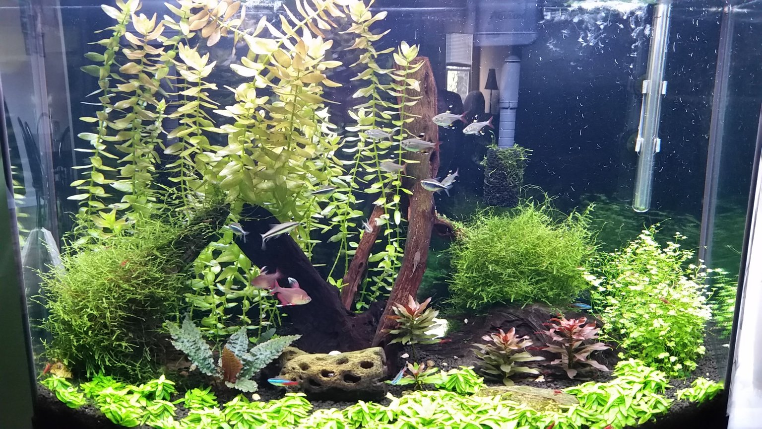 36 gallons planted tank (mostly live plants and fish) - My first planted tank