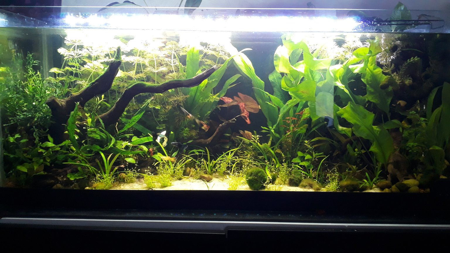28 gallons planted tank (mostly live plants and fish) - My first fish tank. All male guppy jungle and amano and blue dream janitorial team!