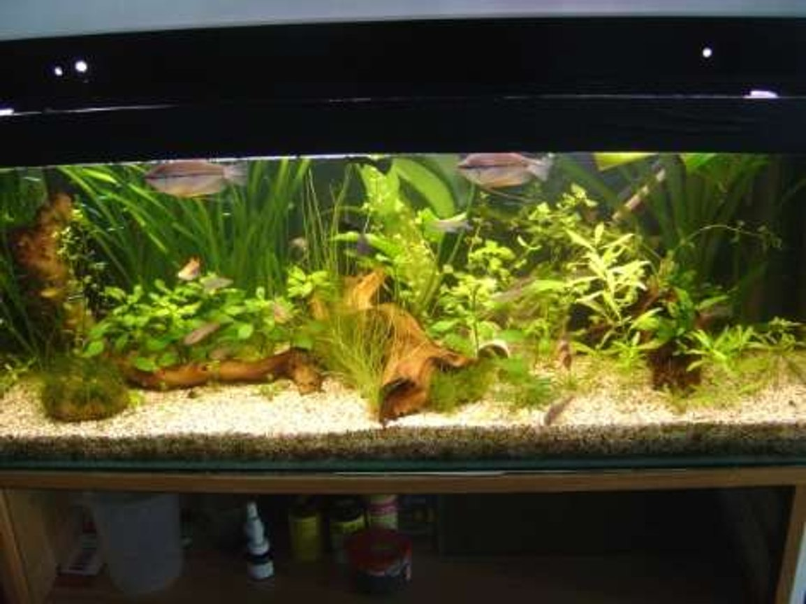 95 gallons planted tank (mostly live plants and fish) - Here's my lo-tech planted 3foot tank. It runs only one standard bulb and no CO2, just rabbit pooh and liquid ferts to keep the growth rate up ;)