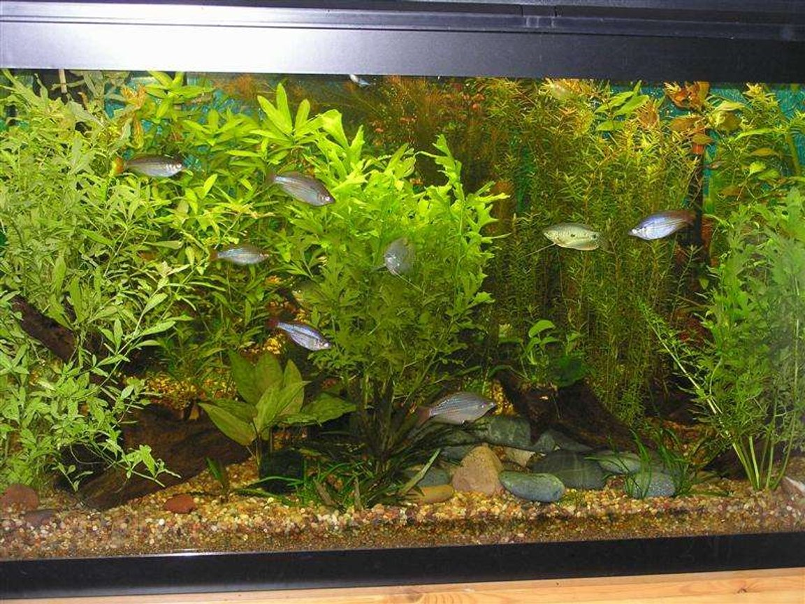 90 gallons planted tank (mostly live plants and fish) - My 90g planted tank with gouramis, rainbows, clown loaches, zebra loaches, weather loaches, red-tail black shark, rubbernose pleco and some otos.