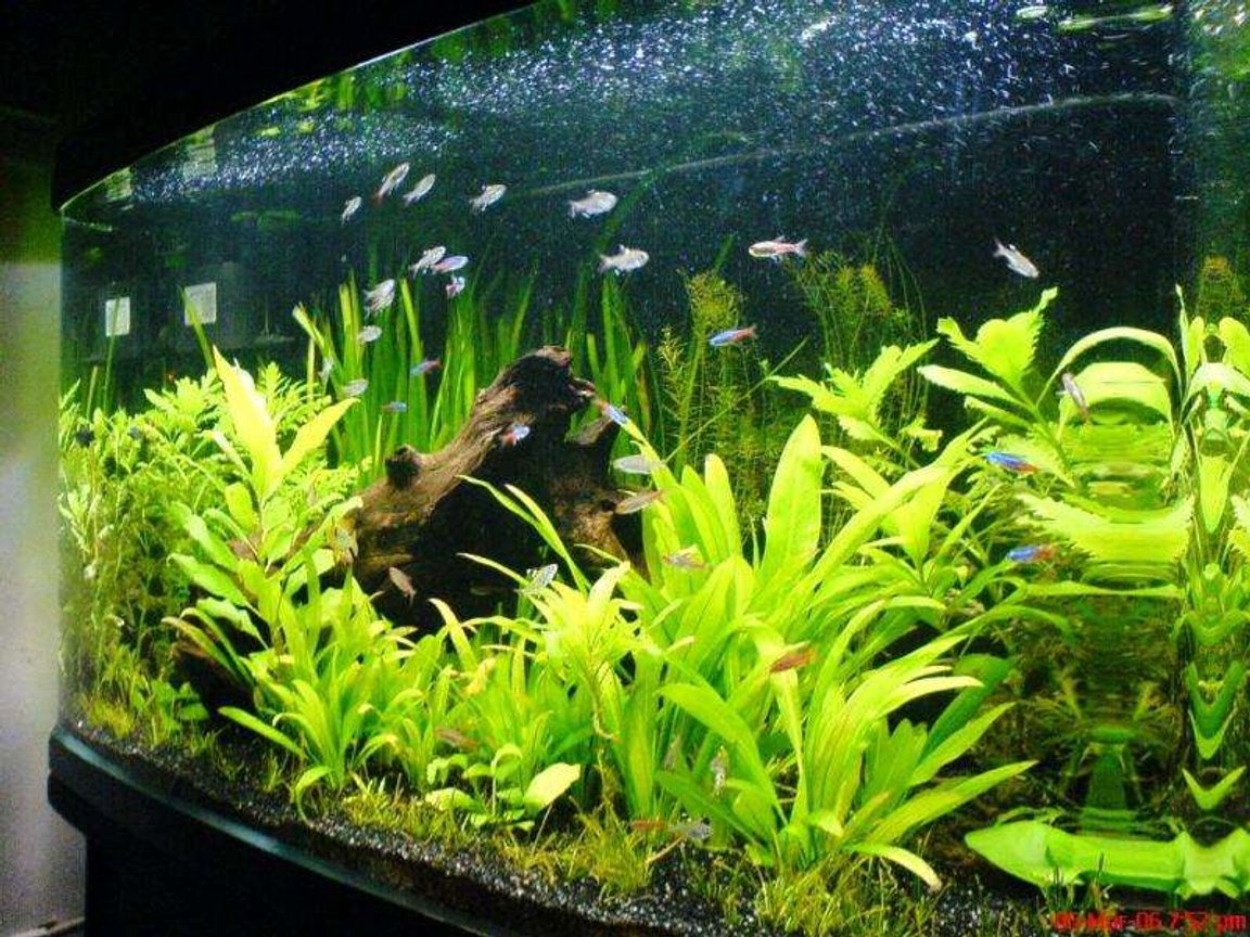 55 gallons planted tank (mostly live plants and fish) - My Amazon Forest...