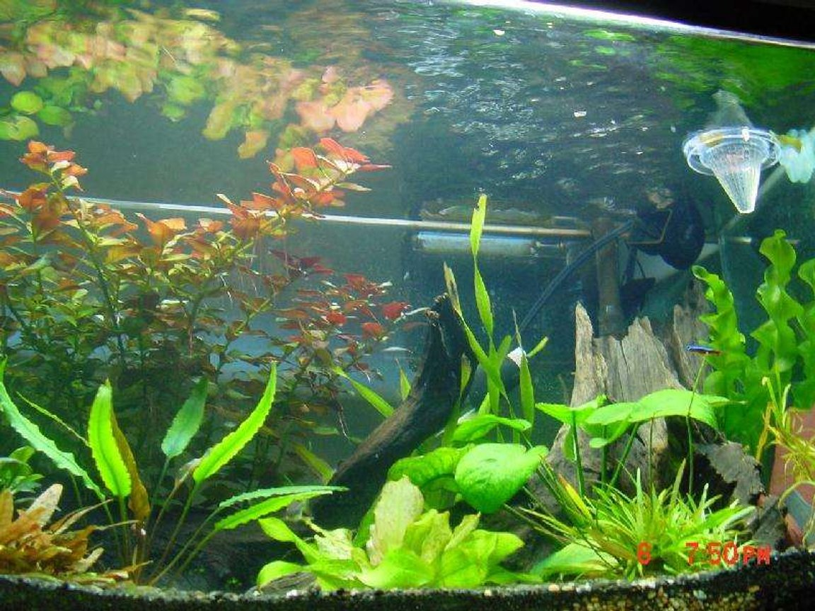 60 gallons planted tank (mostly live plants and fish) - my litle blue and red fish