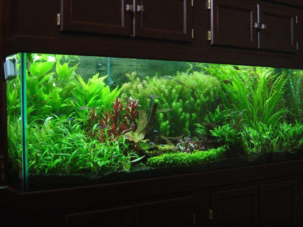 180 gallons planted tank (mostly live plants and fish) - 180 gallon DIY Concrete Background CO2 system w/pH controller UV Sterilizer 706W PC lighting Eco-complete gravel Plants- Baby Tears Crypto petchii Crypto lutea Crypto wendtii-Red Crypto wendtii-Green Red Tiger Lotus Green Tiger Lotus Rotala indica Rotala macrandra Apon. ulvaceous Apon. crispus Ammania senegalensis Java ferm Onion plant Giant hygro Red Temple Fish- 4 wild scalare angels 4 roselines 5 RT Hemiodus 45 Cardinals 3 Glass Bloodfin 8 Espei Rasbora 18 misc Corydoras spp. 18 Oto. affinis 12 Rummy Nose Tetras 1pr M. altispinosa 2 NG Rainbows