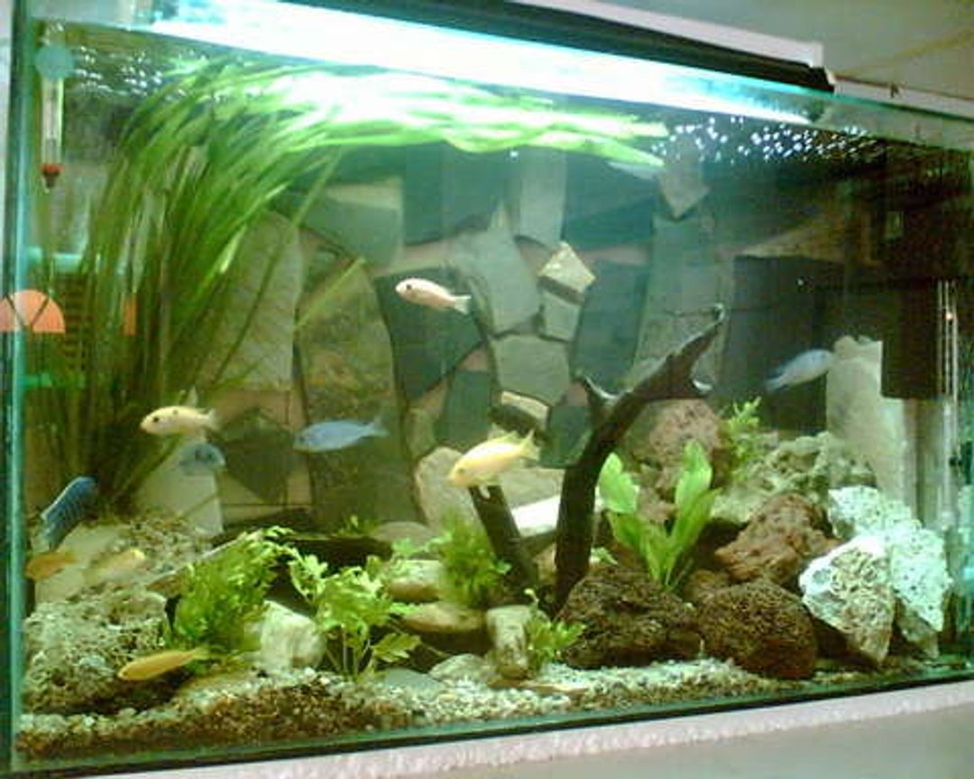 50 gallons planted tank (mostly live plants and fish) - My home african ciclids fish tank