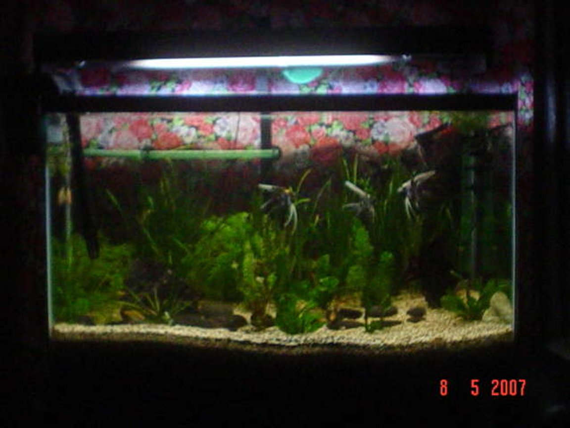 16 gallons planted tank (mostly live plants and fish) - 36 x 18 x 21 Fresh Water Tank Plants: Vallisneria G. Cabamba Carolinia Rotala Fren Substrate: Aquabasic Gravels: 1-2 mm Gravels Fish: Angels (Locally Bred) Barbs Sharks Gourami (sole survivor of the 16 Gal tank)