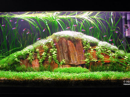 Rated #4: Planted Tank - Tank 35 gall  
