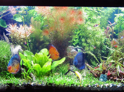 Rated #9: 75 Gallons Planted Tank - A full view of my 75 gal discus planted tank