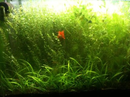66 gallons planted tank (mostly live plants and fish) - 300 liter planted