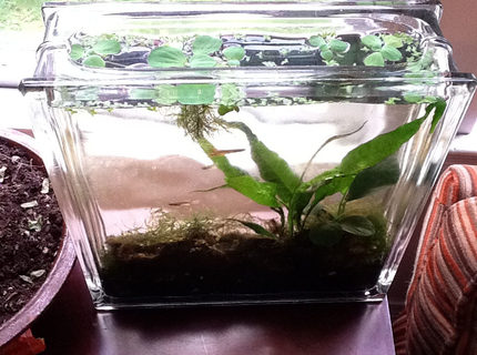 2 gallons planted tank (mostly live plants and fish) - Killifish tank