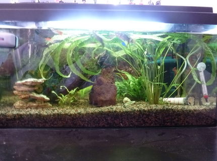 54 gallons planted tank (mostly live plants and fish) - 2tal cool picture of my fishtank