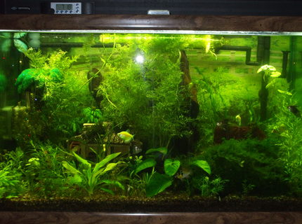 58 gallons planted tank (mostly live plants and fish) - I have a variety of social fish and just started planting my tank about 3 month ago when I upgraded lighting.I'm doing the homemade Co2 injectind and most of my plants have taken off. No fish fatalities(knock on wood) I'e read about all the ups and downs and ph spikes.We have really hard water which has which a few species wont grow in but over all It's been a success. Any advise will be greatly appreciated. Thanks