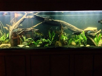 250 gallons planted tank (mostly live plants and fish) - 250g predator tank with a gourami