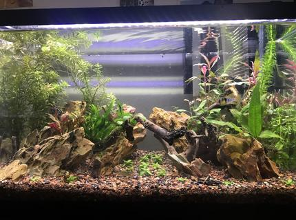 10 gallons planted tank (mostly live plants and fish) - Planted 10 with ohko stone, newly established. Plants are not yet to full potential