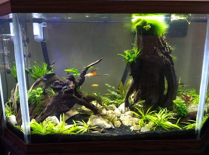 45 gallons planted tank (mostly live plants and fish) - 45gal low tech planted tank, neons, white cloud minnows, glass cats, cory cat, swordtail, danio, bamboo shrimp, cherry shrimp, crypts, swords, christmas moss, crested java fern, anubias, jungle val (hoping grows tall on the left side soon!).