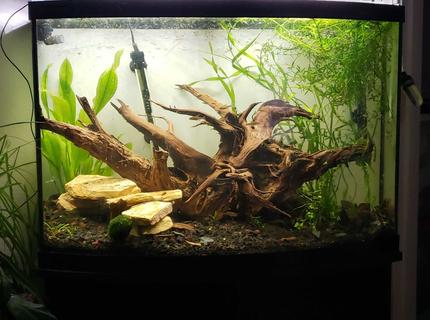36 gallons planted tank (mostly live plants and fish) - Stump filled bowfront