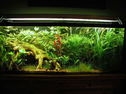 Rated #7: 55 Gallons Planted Tank - Updated 2 month picture, to me this tanks just gets nicer an nicer.  Lots of pruning!