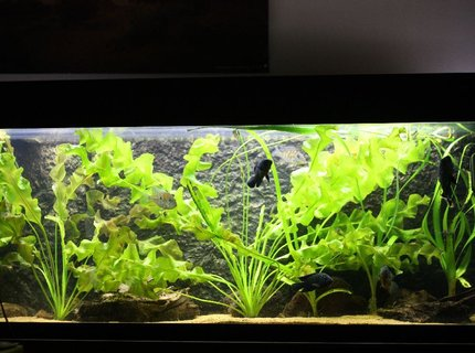 350 gallons planted tank (mostly live plants and fish) - Amazon biotope 275 gallon: Oscarfish, jack dempsey,aquidens heckeli, heros severum,deamoncichlid