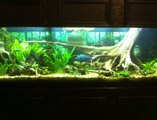125 gallons planted tank (mostly live plants and fish) - 125g Dirt Tank w/cichlids